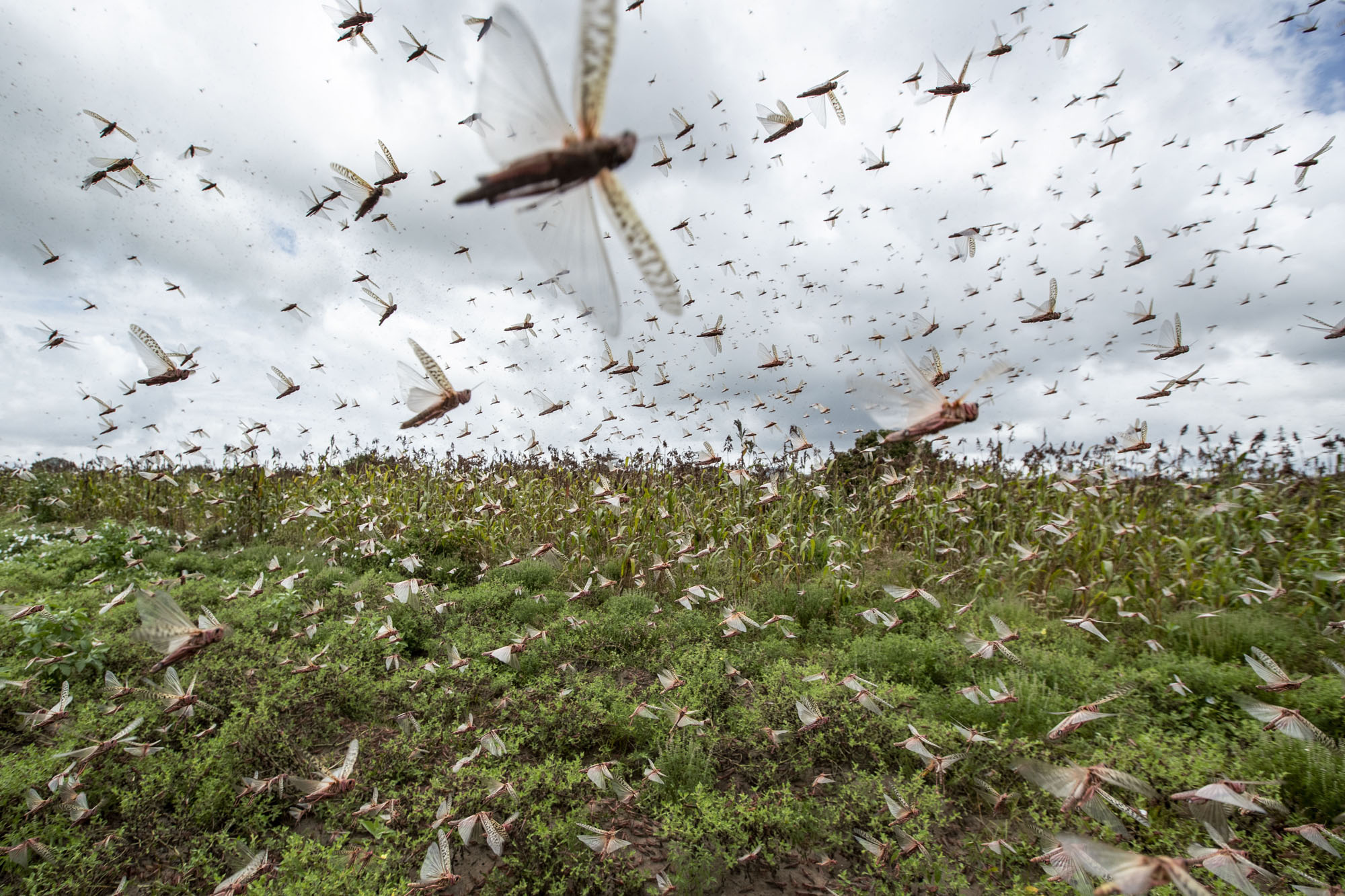 Locust Emergency. A Race Against Time To Head Off A Food Disaster