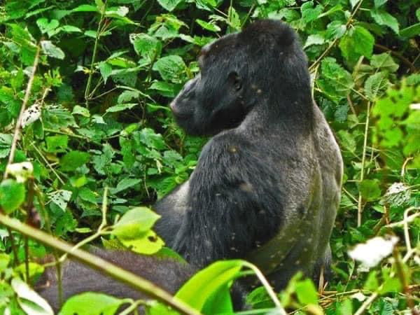 Uganda, Ucciso Il Re Dei Gorilla Di Montagna. Il Racconto Di Un Incontro Indimenticabile