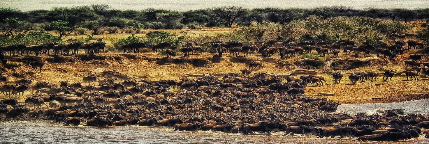 La Magia Dell'Africa. Gli Gnu, Protagonisti Indiscussi Della Grande Migrazione